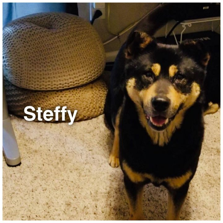 Steffy, an adopted Jindo in Sterling, VA