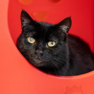 Meet Carob a shy young cat in need of a human she can really trust Carob is calm independent an