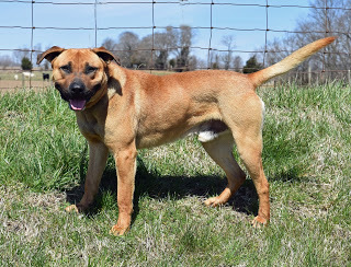 Wilson, an adopted Shepherd in Marion, KY