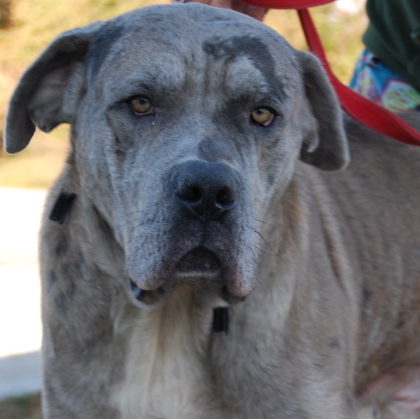 Dog for adoption - Roman, a Great Dane & Neapolitan Mastiff Mix in
