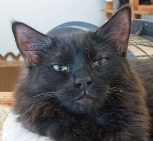 Ketniss Domestic Long Hair Cat