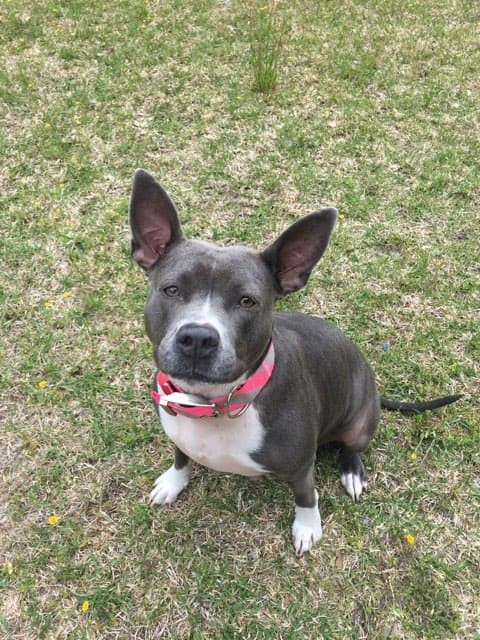 Maddie, an adopted Pit Bull Terrier in Durham, NC