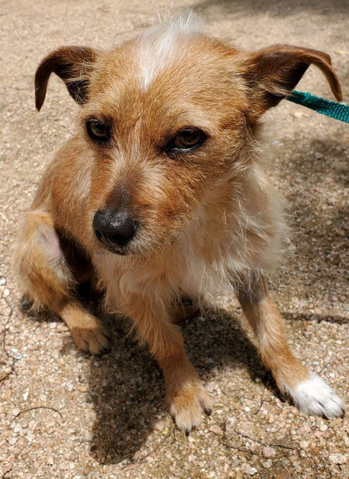 Marco, an adoptable Terrier Mix in Dallas, TX