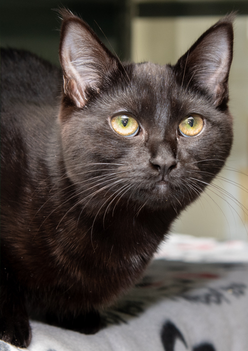 Corolla, an adopted Domestic Short Hair Mix in Port Townsend, WA