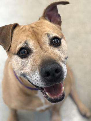 Dog for adoption - Bam Bam, a Terrier & Pit Bull Terrier Mix in