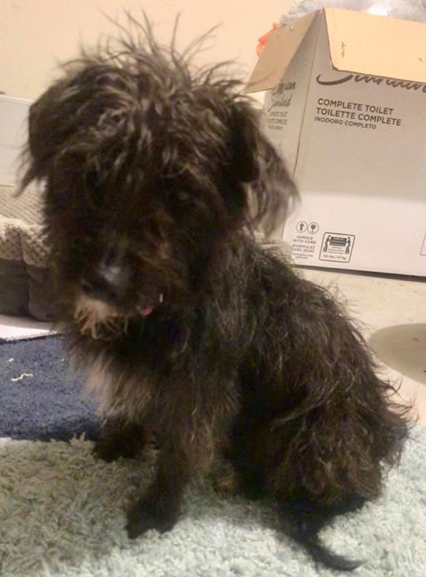 LILY-LHB, an adopted Schnauzer & Scottish Terrier Mix in Dallas, TX