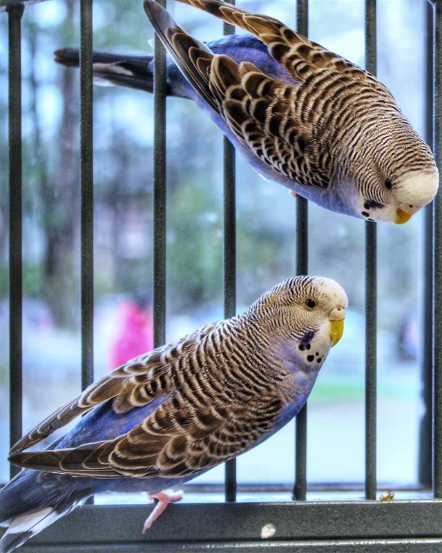 Parrot for adoption - MARIA CALLAS, a Budgie / Budgerigar in Dedham