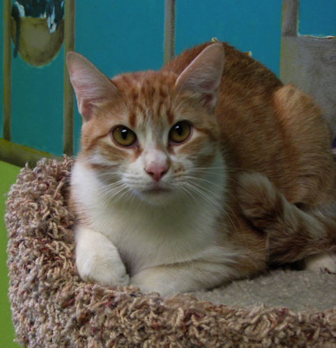 Ali Cat, an adoptable Domestic Short Hair in Normal, IL