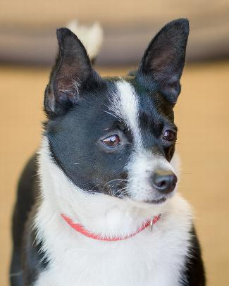MIRA, an adoptable Terrier & Chihuahua Mix in Point Richmond, CA