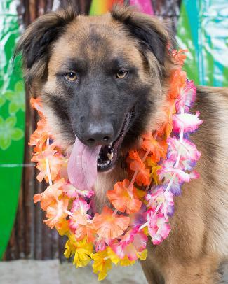 ADONIS, an adoptable Belgian Shepherd / Tervuren Mix in Point Richmond, CA