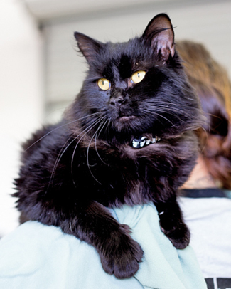 PIRATE, an adoptable Domestic Long Hair Mix in Point Richmond, CA