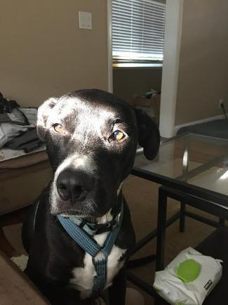 BEAR, an adoptable Great Dane & Border Collie Mix in Point Richmond, CA