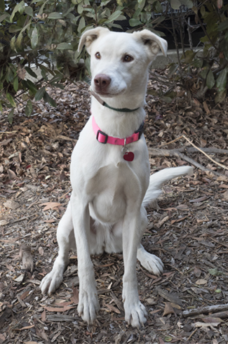 Pearl, an adoptable Labrador Retriever & Australian Cattle Dog / Blue Heeler Mix in Point Richmond, CA