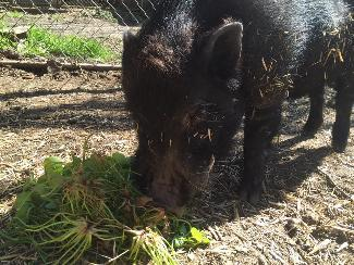 HIERONYMUS, an adoptable Pig in Point Richmond, CA