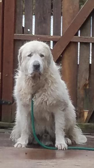 MALAKAI, an adoptable Great Pyrenees in Point Richmond, CA
