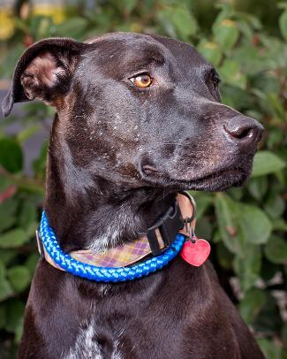 LADY, an adoptable Labrador Retriever & Airedale Terrier Mix in Point Richmond, CA