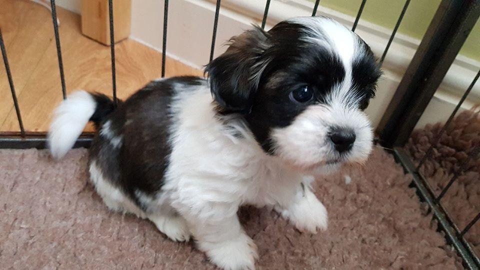 Dog For Adoption Bernard A Saint Bernard American Bulldog Mix In Woodland Hills Ca Petfinder