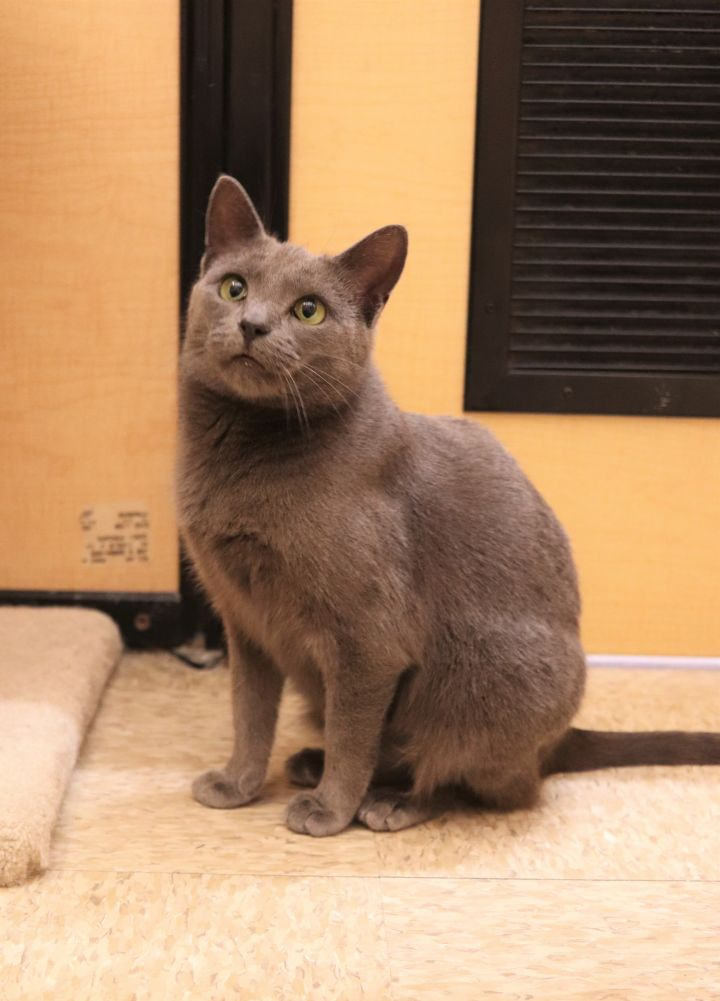Delia, an adoptable Domestic Short Hair in Boiling Springs, PA