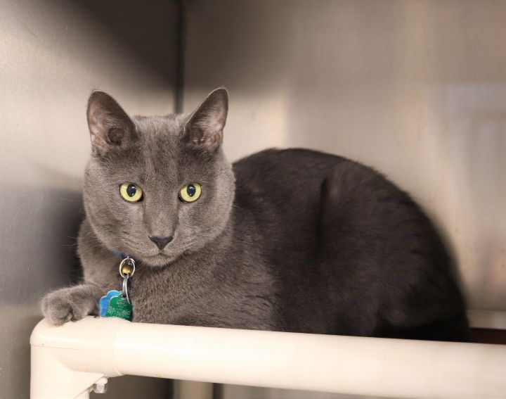 Sam, an adoptable Domestic Short Hair in Boiling Springs, PA
