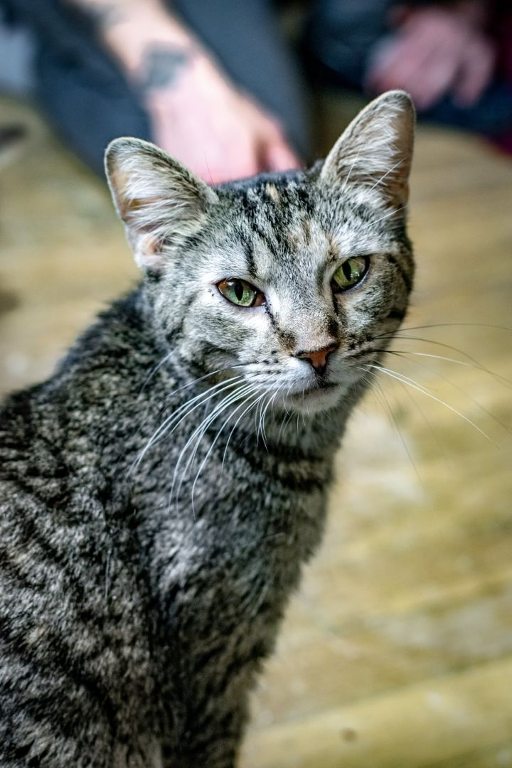Cat for adoption - Bobby, a Tabby in Greensburg, PA | Petfinder