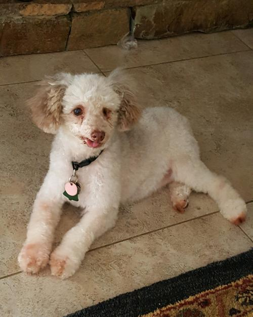 Dog For Adoption Blossom A Poodle In Colorado Springs Co