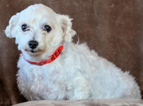 Dog For Adoption Honey Bee A Poodle In Denver Co Petfinder
