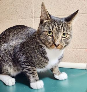 Little Howler Tabby Cat