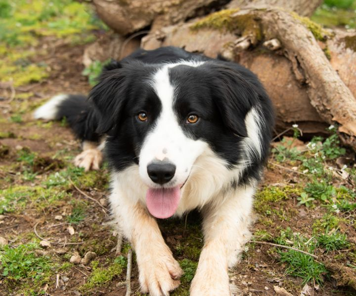 BRODIE -  Super sweet, an adopted Border Collie in Carlisle, PA