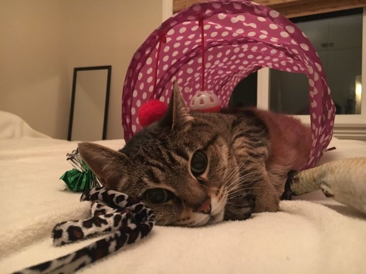 Minnie, an adopted Domestic Short Hair & Tabby Mix in Stanford, CA