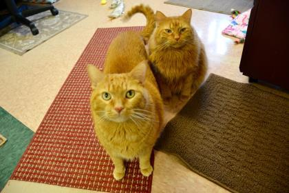 JJ and Joe, an adopted Domestic Medium Hair & Domestic Short Hair Mix in Madison, WI