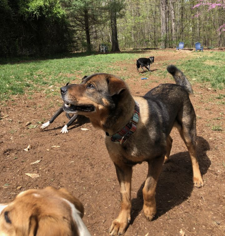 Danny Boy, an adopted Shepherd & Chow Chow Mix in Charlottesville, VA