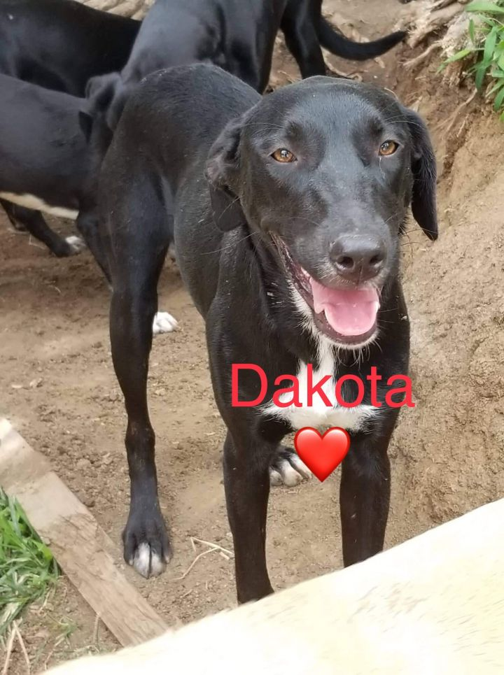 DAKOTA, an adopted Labrador Retriever Mix in Milford, NH