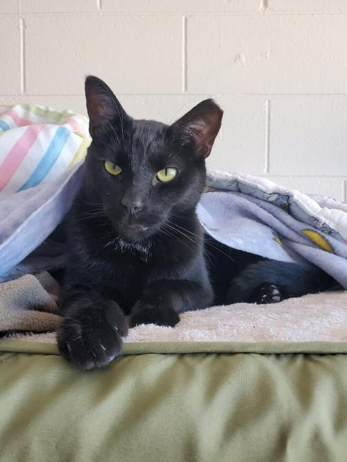 Amos, an adoptable American Shorthair & Domestic Short Hair Mix in Monroe, MI