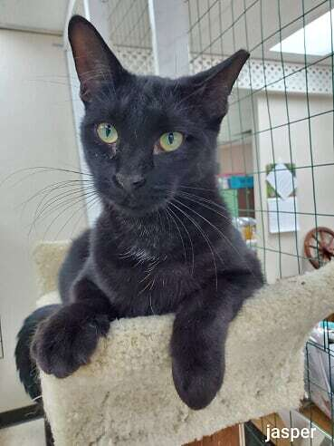Jasper, an adoptable American Shorthair & Domestic Short Hair Mix in Monroe, MI