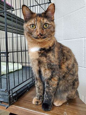 Miya, an adoptable Calico & Tortoiseshell Mix in Monroe, MI