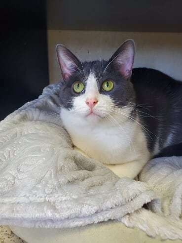 Bandit, an adoptable Tuxedo & Domestic Short Hair Mix in Monroe, MI