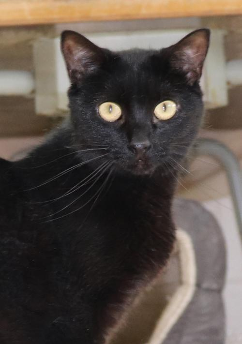 Mystic, an adoptable Domestic Short Hair & American Shorthair Mix in Monroe, MI