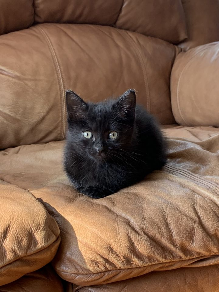 Clove, an adopted Domestic Short Hair in Madison, WI