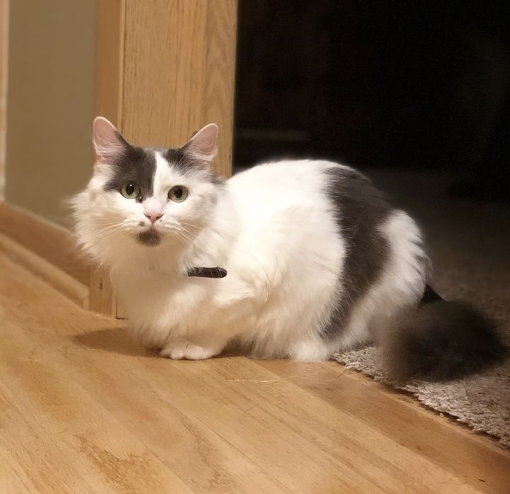 Flower, an adoptable Domestic Medium Hair in Madison, WI