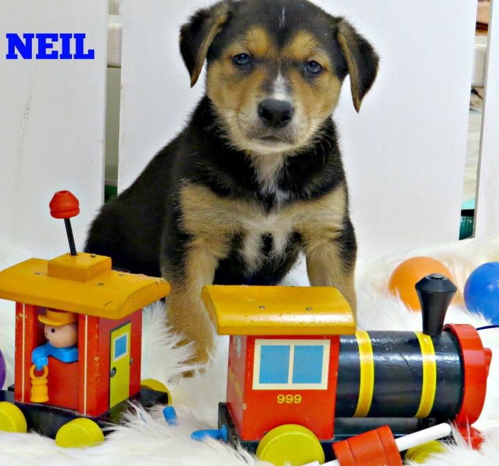 NEIL, an adopted Australian Kelpie & Border Collie Mix in Evansville, WI