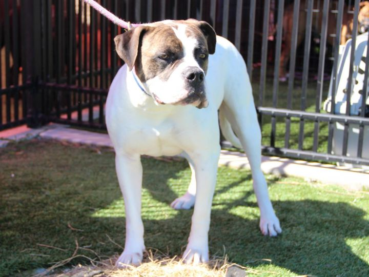 Ranger, an adopted American Bulldog in Grass Valley, CA