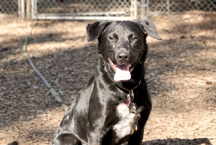Cricket, an adopted Labrador Retriever Mix in Hood River, OR