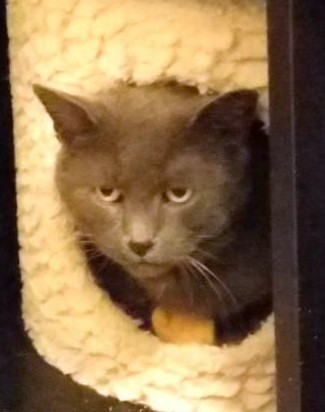Greystoke (FCID# 1/14/19-39 West Chester Foster), an adoptable Domestic Short Hair in Wilmington, DE