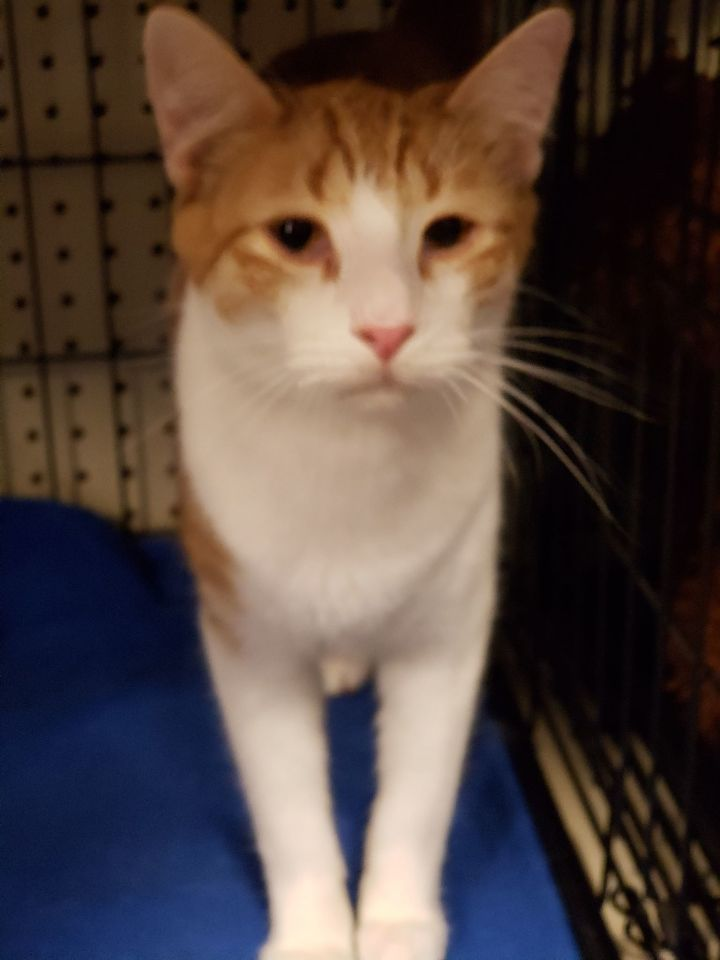 Tiger, an adoptable Domestic Short Hair in Arlington, TX