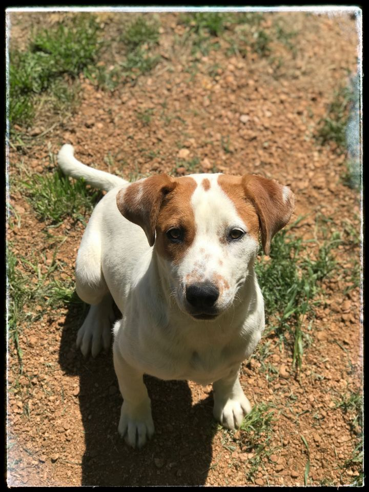 Jenna, an adoptable Hound Mix in Dallas, TX