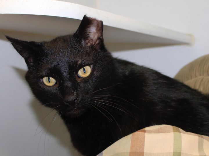 Bilbo, an adopted Domestic Short Hair in Grass Valley, CA