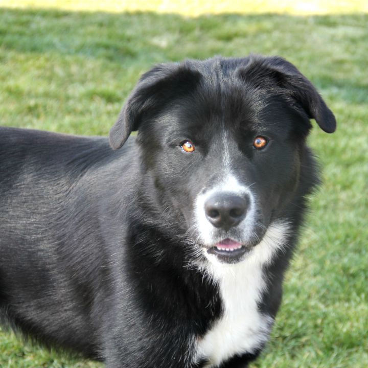 Aces, an adopted Border Collie & Labrador Retriever Mix in Clovis, CA