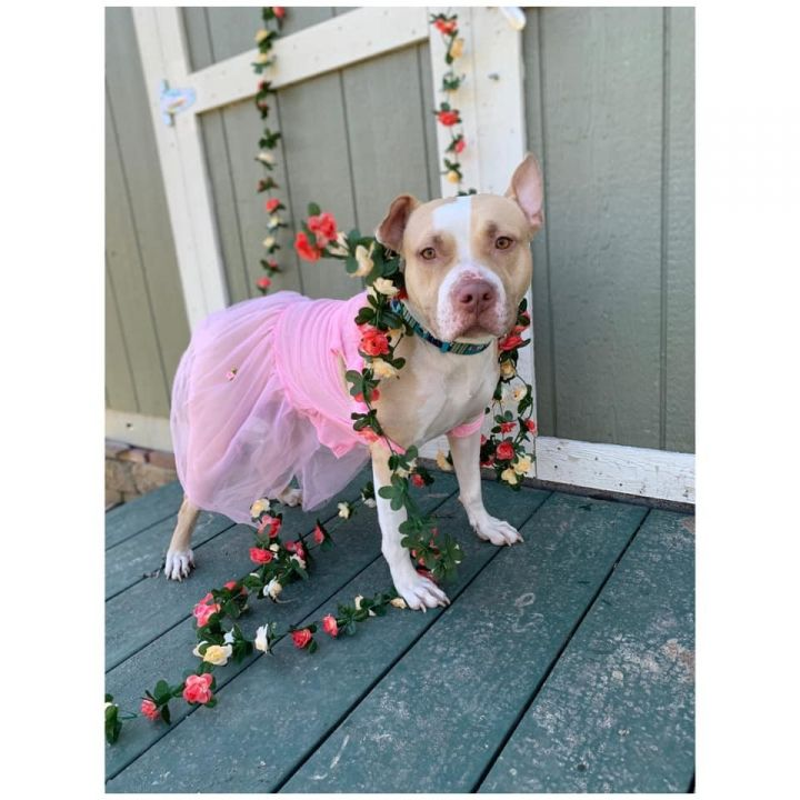 Dog for adoption - Queen, a Pit Bull Terrier Mix in