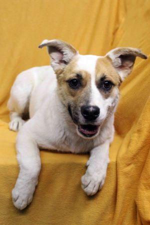 Dog for adoption - Gracie, an Australian Shepherd Mix in