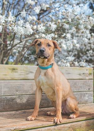 Koda, an adopted Black Mouth Cur & Pit Bull Terrier Mix in Gainesville, GA